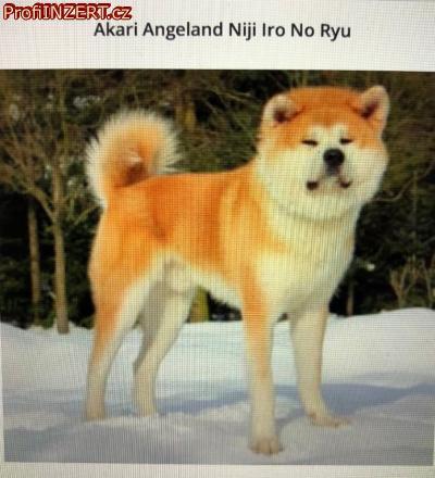 Obrázek k inzerátu: Akita inu