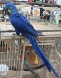 Obrázek k inzerátu Prodám Hyacint papoušek papoušci