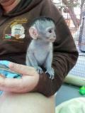 Obrázek k inzerátu Prodám Kapucínský opice