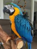 Obrázek k inzerátu Dostupný Ara Ararauna papoušci