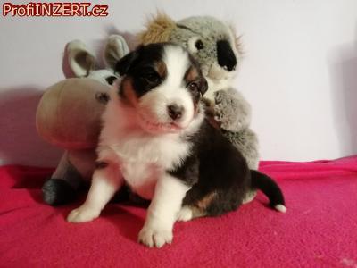 Obrázek k inzerátu: Australský ovčák s PP