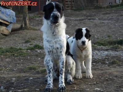 Obrázek k inzerátu: Středoasijský pastevecký pes s PP