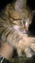 Obrázek k inzerátu Prodám britské kotě - kocourek
