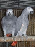 Obrázek k inzerátu Žako Kongo pro  prodej
