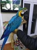 Obrázek k inzerátu Nabídka Ara Ararauna papoušci