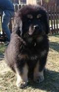 Obrázek k inzerátu Tibetská doga - šteniatka zo zahraničného krytia