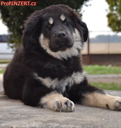 Obrázek k inzerátu: Tibetská doga - štěně s PP