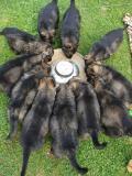 Obrázek k inzerátu Německý ovčák