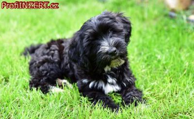 Obrázek k inzerátu: Tibetský teriér - štěně s PP