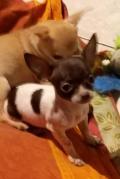 Obrázek k inzerátu Čivava štěňátka maličká
