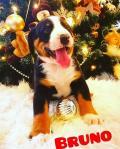 Obrázek k inzerátu Appenzelský salašnicky pes