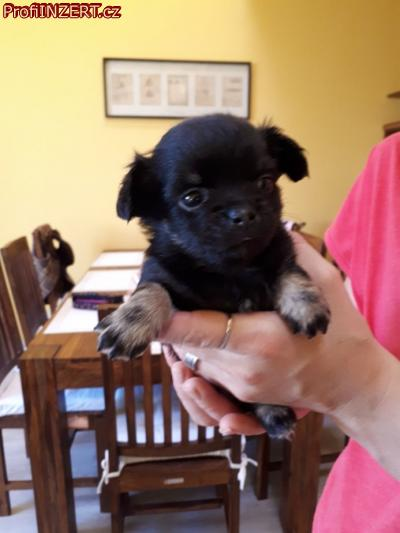 Obrázek k inzerátu: Čivava - krásná štěňátka