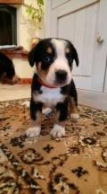 Obrázek k inzerátu Entlebušský salašnícky pes