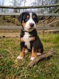 Obrázek k inzerátu Velký švýcarský salašnický pes