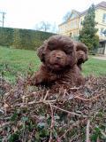 Obrázek k inzerátu Novofundlandský pes - hnědá štěňata psi
