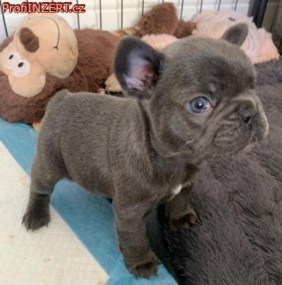 Obrázek k inzerátu: K dispozici jsou krásná štěňata francouzského buldočka.