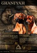 Obrázek k inzerátu Rhodéský ridgeback - rezervace štěňat
