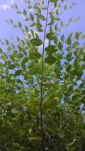 Obrázek k inzerátu Jilm sibiřský - rychle rostoucí živý plot